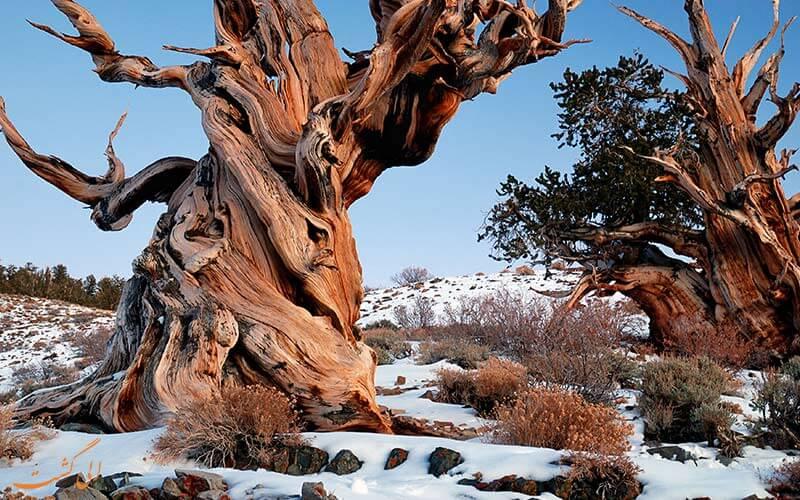 این درخت کهنسال ترین درخت جهان است
